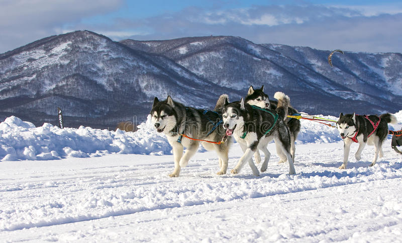 Course de chien de traîneau sur la neige en hiver images stock