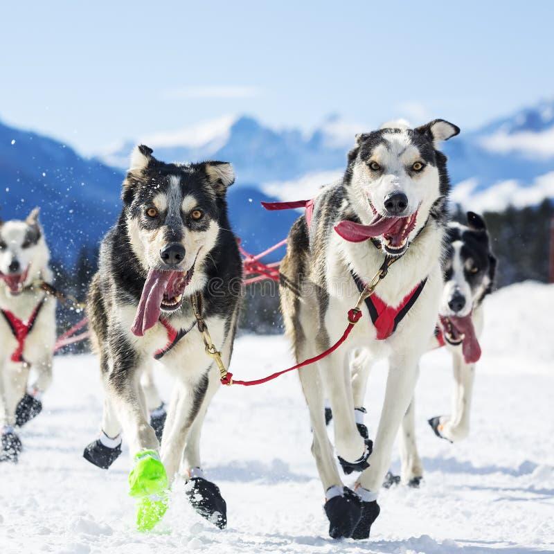 Course de chien sur la neige images libres de droits