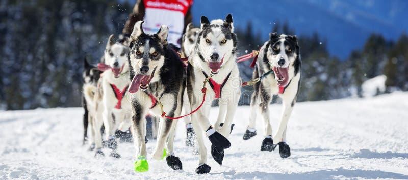 Course de chien sur la neige image libre de droits