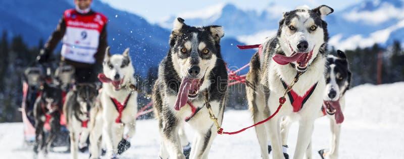 Course de chien de traîneau photos stock