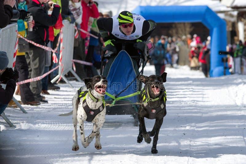 Course de chien de traîneau dans Zuberec, Slovaquie photo libre de droits