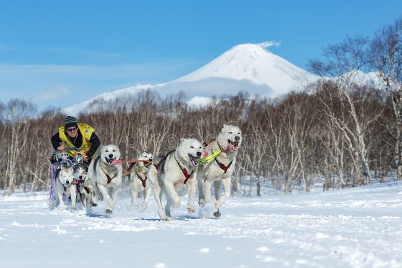 Course de chien de traîneau du Kamtchatka Beringia, tasse russe de disciplines de neige de traîneau de chien images stock