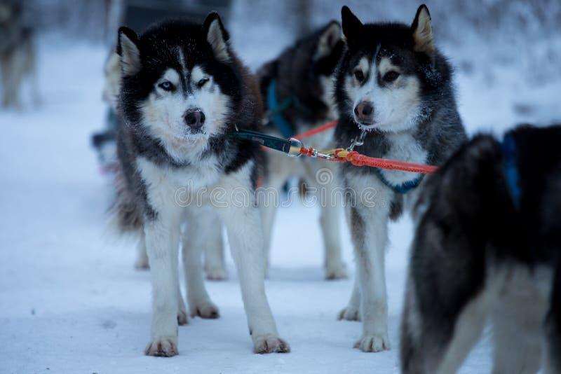 Course de chien de traîneau sur la neige en hiver photo stock