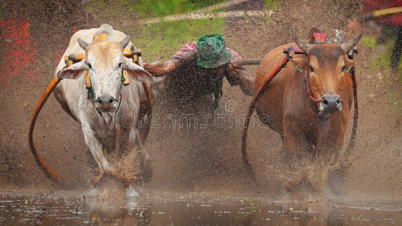 Course de Pacu Jawi images stock