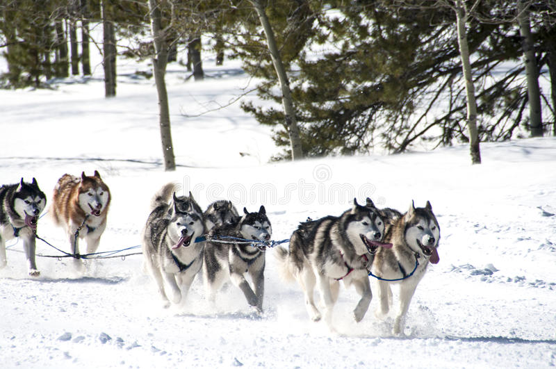 Course de traîneau de chien photos libres de droits