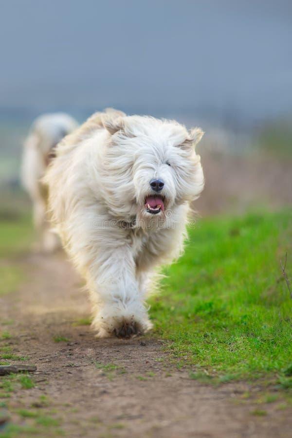 Course pelucheuse blanche de chien image libre de droits