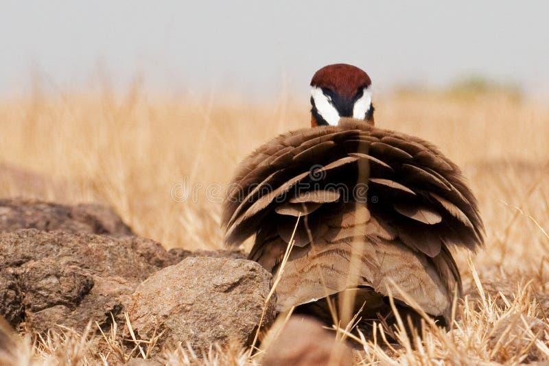 Courser indien photographie stock libre de droits
