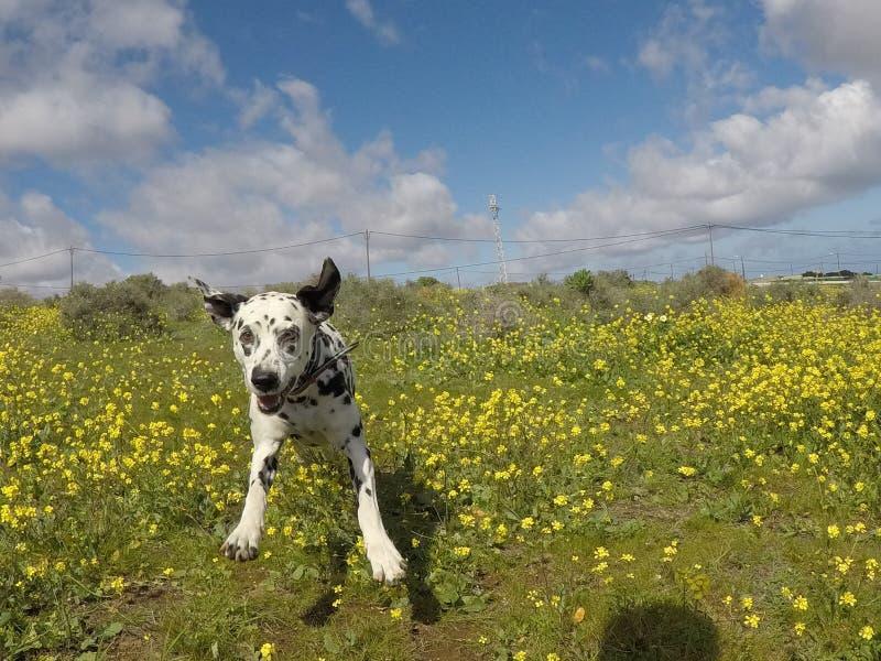 Courses dalmatiennes par le champ photos libres de droits