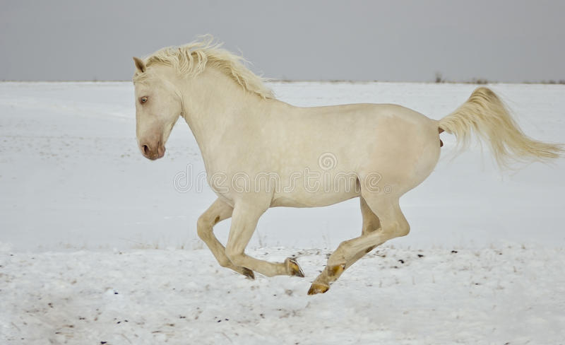 Courses de cheval blanc dans le domaine de neige photographie stock libre de droits