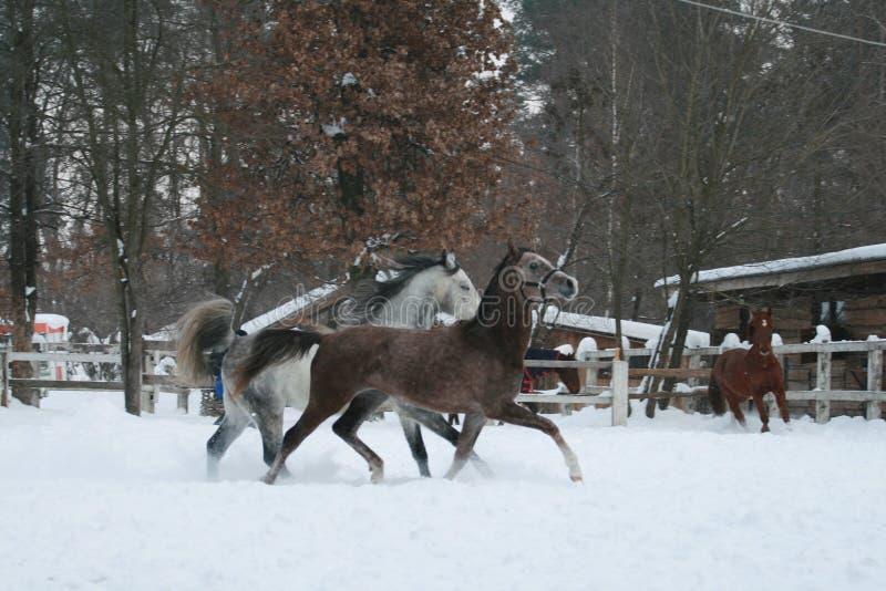 Courses de chevaux de Rabian dans la neige dans le pré contre une barrière blanche et des arbres avec les feuilles jaunes Cheval  images stock