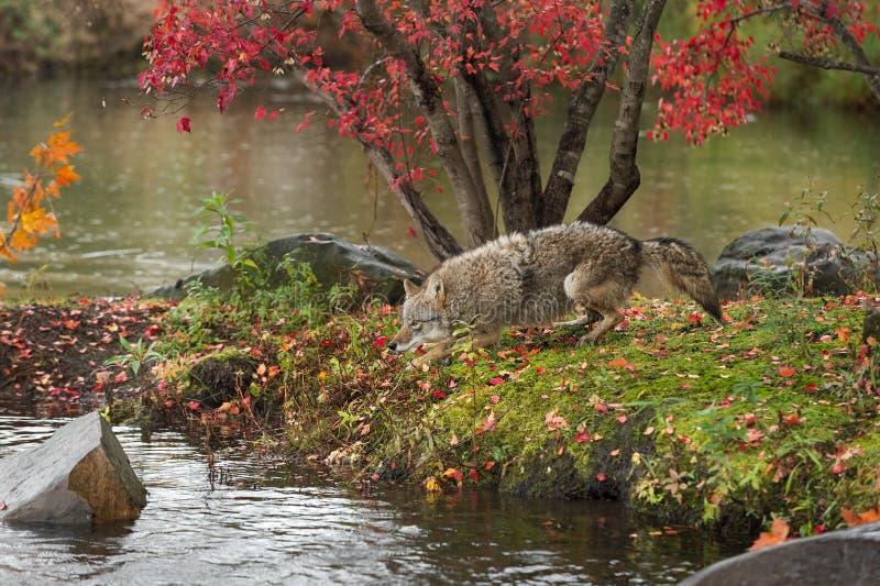 Courses de latrans de Canis de coyote environ sur l'île image libre de droits