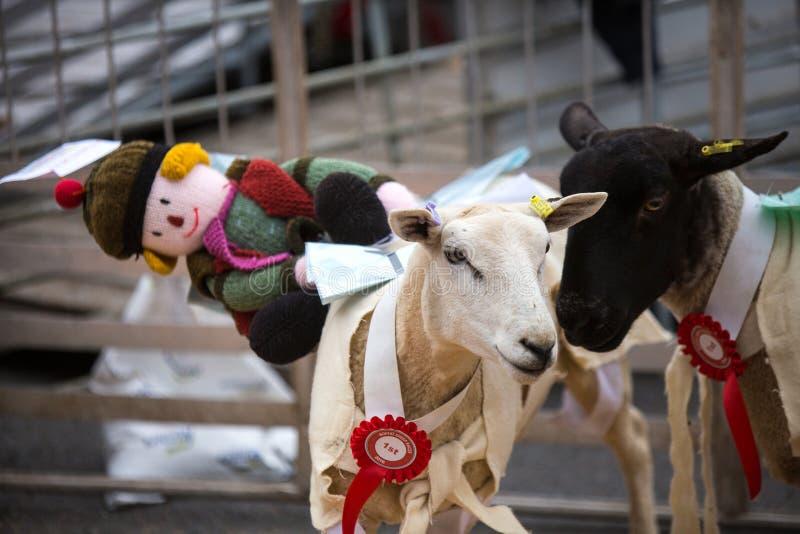 Courses de moutons de Moffat photographie stock