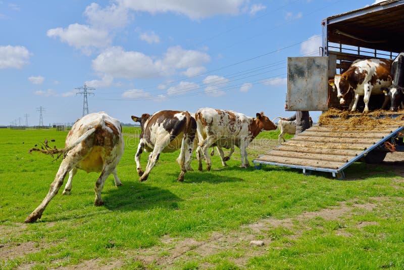 Courses de vache dans le pré après transport de bétail images stock