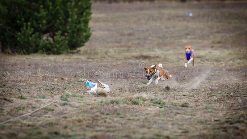 coursing Θέλγητρο συλλήψεων σκυλιών Basenji στοκ φωτογραφία