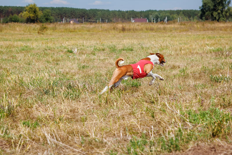 coursing Σκυλί Basenji σε μια κόκκινη μπλούζα που τρέχει πέρα από τον τομέα στοκ φωτογραφία με δικαίωμα ελεύθερης χρήσης