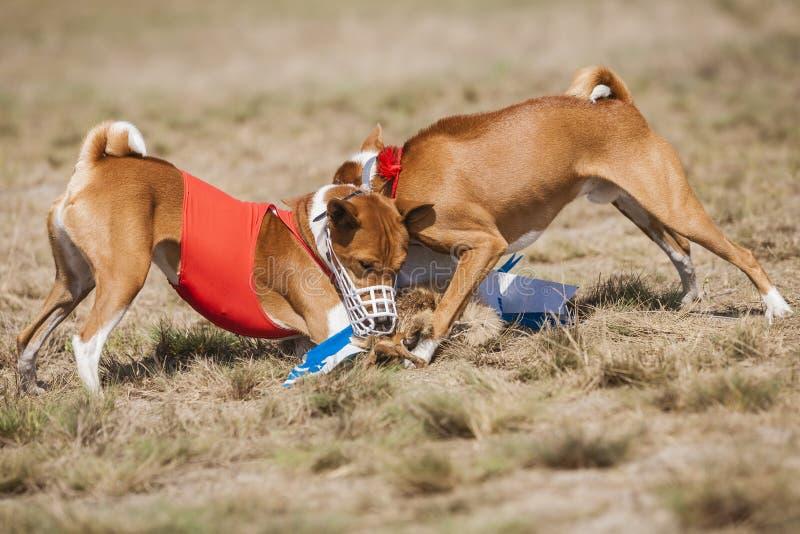 coursing Τα σκυλιά Basenji στο τέρμα επίασαν ένα δόλωμα στοκ φωτογραφίες