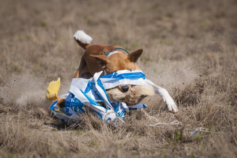 coursing Το σκυλί Basenji στο τέρμα επίασε ένα δόλωμα στοκ φωτογραφίες με δικαίωμα ελεύθερης χρήσης