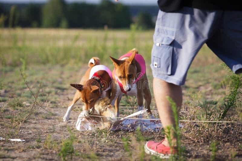 coursing El perro de Basenji cogió el cebo fotos de archivo