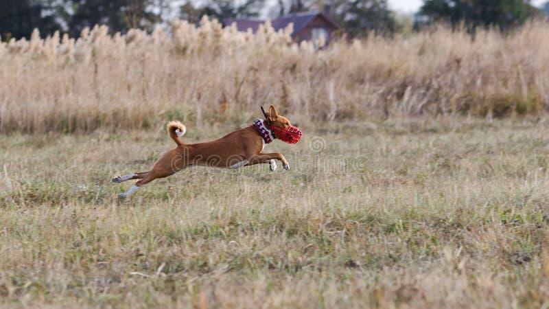 coursing Funcionamiento de los perros de Basenji después de un señuelo Campo herboso foto de archivo libre de regalías