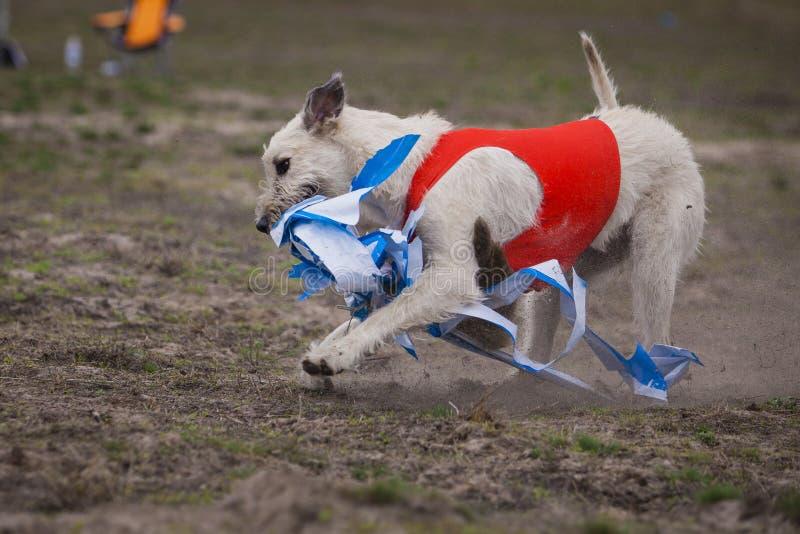 Coursing. Irish Wolfhound dog. Runs across the field royalty free stock photo