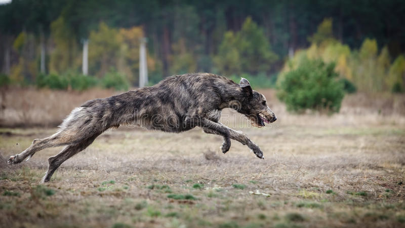 Coursing. Irish Wolfhound dog runs. Across the field. Autumn day royalty free stock image