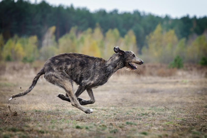 Coursing. Irish Wolfhound dog runs. Across the field. Autumn day stock images