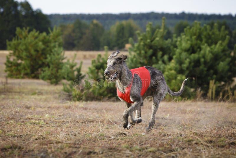 Coursing. Irish Wolfhound dog runs. Across the field. Autumn day stock photos
