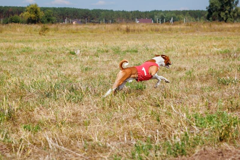 coursing Perro de Basenji en una camiseta roja que corre a través del campo fotografía de archivo libre de regalías