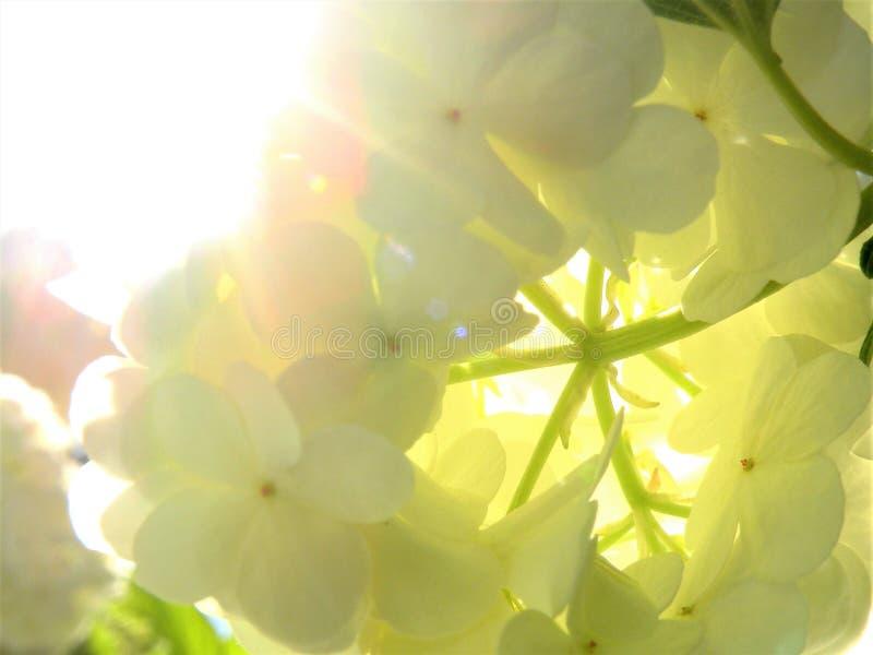 Courson blanc rétro-éclairé de Snowball Bush image stock