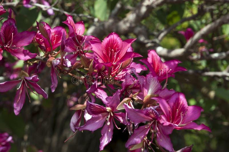 Courson d'arbre d'orchidée de carmin le long de branche images stock