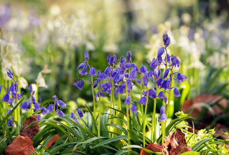 Coursons et feuilles de jacinthe des bois dans une pelouse de jardin le jour ensoleillé image libre de droits