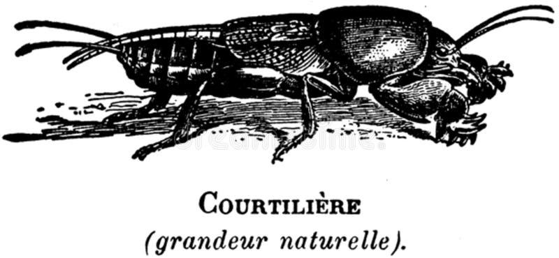 Courtiliere-oa Free Public Domain Cc0 Image