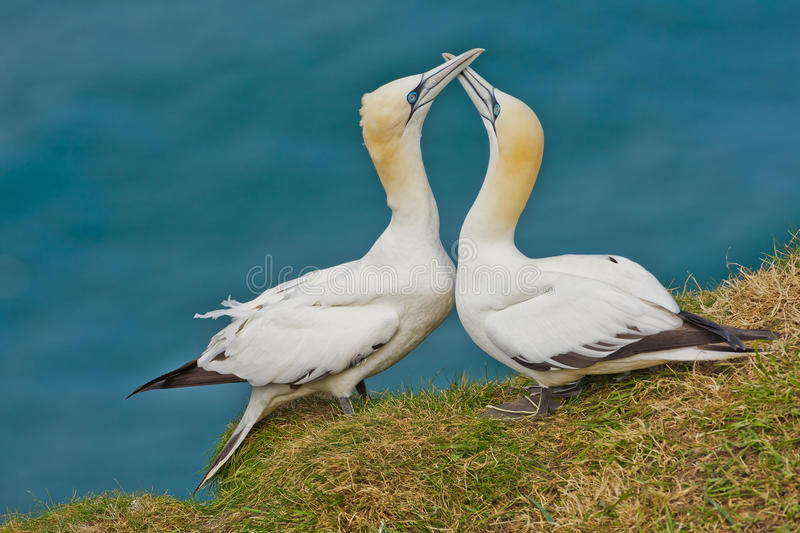 Courting Gannets royalty free stock images