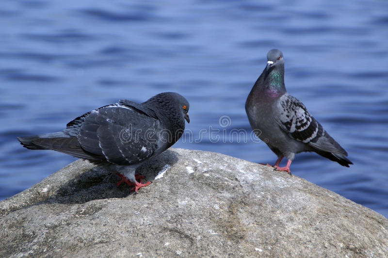 Download Courting male dove stock photo. Image of feathers, water - 26303148