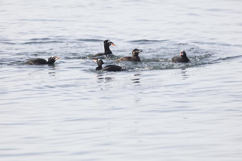 Courtship Dance Of Surf Scoter. At white rock BC Canada stock photos