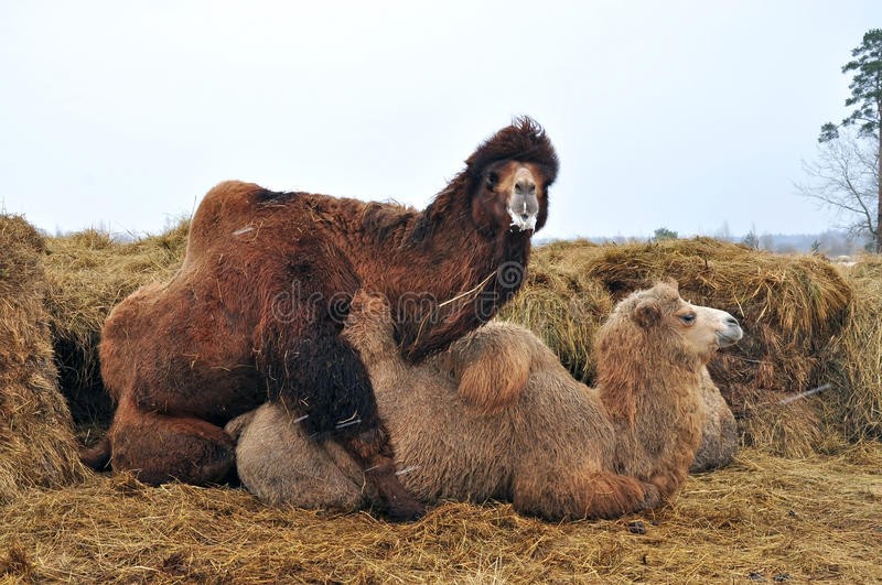 Courtship games Bactrian camels. Pairing domestic Bactrian camels on the background of hay royalty free stock photography