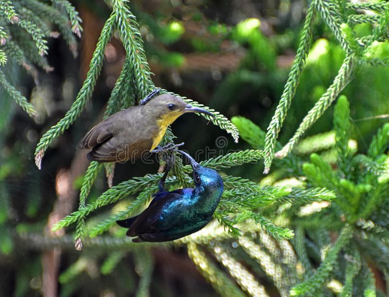 Courtship. A pair of purple sunbird are in a loving play before mating in spring royalty free stock photos
