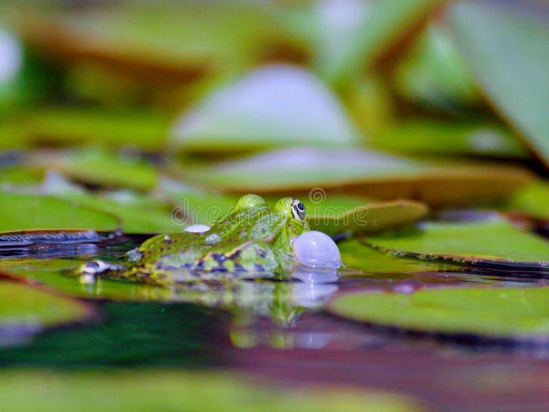 Courtshipping liten waterfrog i ett damm arkivfoton