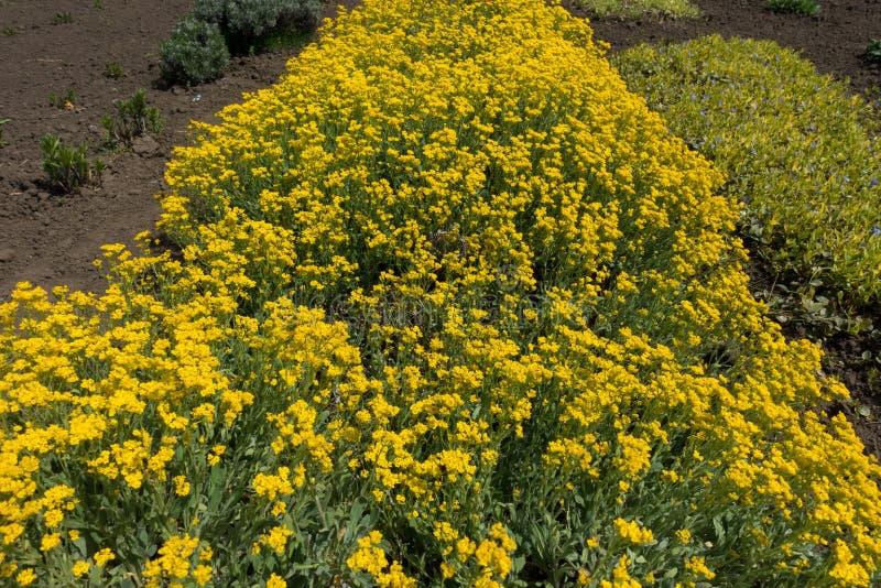 Coussin fleurissant de montanum d'Alyssum dans le jardin photo stock