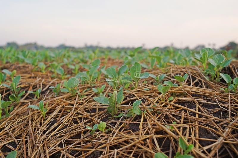Couve chinesa, campo da produção do legume com folhas, Tailândia imagens de stock royalty free