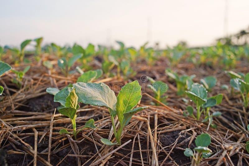 Couve chinesa, campo da produção do legume com folhas, Tailândia imagens de stock