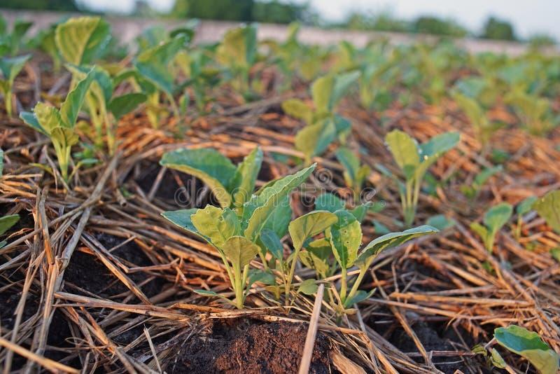 Couve chinesa, campo da produção do legume com folhas, Tailândia fotos de stock royalty free
