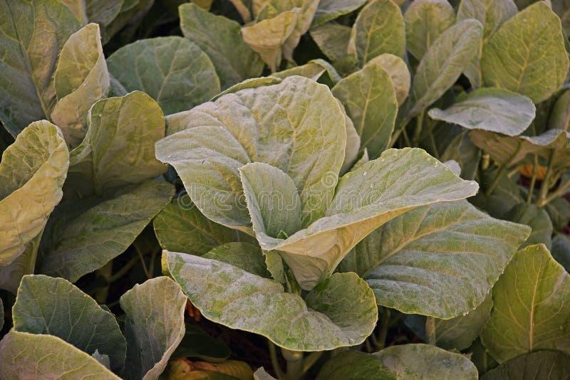 Couve chinesa, legume com folhas imagem de stock