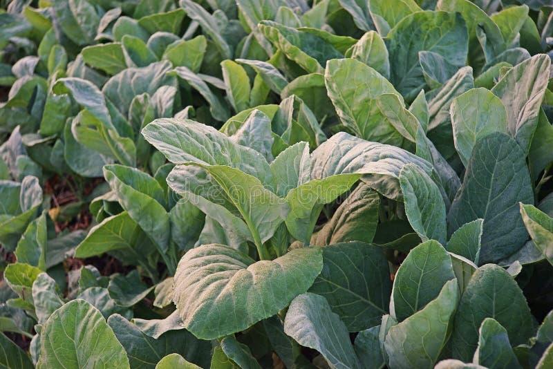 Couve chinesa, legume com folhas fotos de stock royalty free