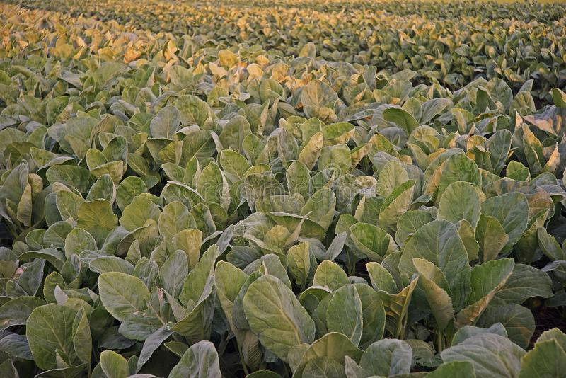 Couve chinesa, legume com folhas fotografia de stock royalty free