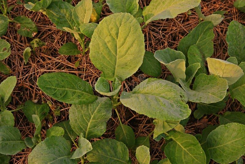 Couve chinesa, legume com folhas fotografia de stock