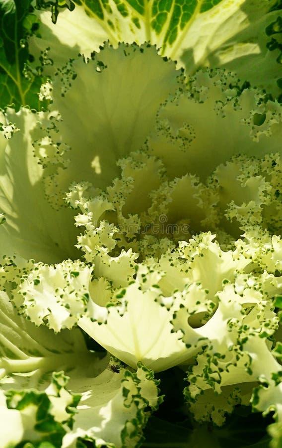 Couve decorativa da planta no macro imagem de stock royalty free