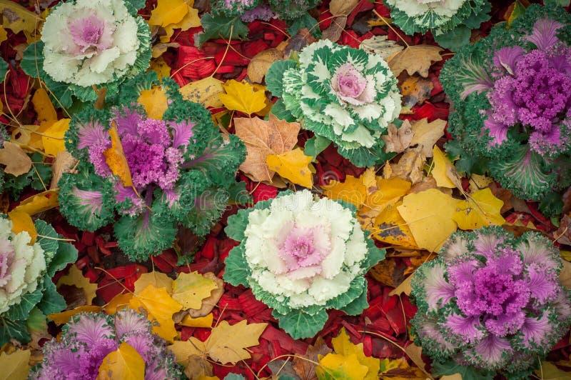 A couve-flor cresce nas camas de grandes caldeirões imagem de stock royalty free