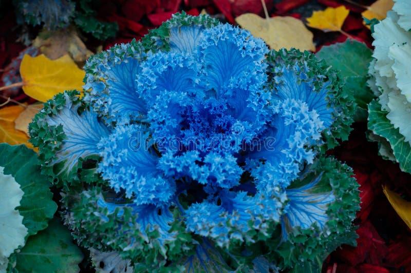 A couve-flor cresce nas camas de grandes caldeirões imagens de stock