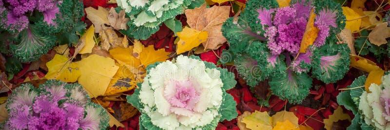 A couve-flor cresce nas camas de grandes caldeirões fotos de stock royalty free